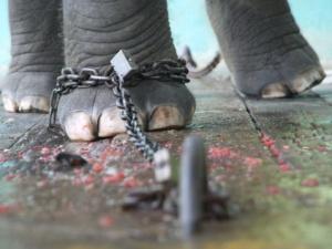 Elefante con cadena